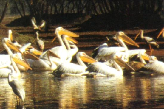 Bharatpur Bird Sanctuary is one of the finest bird sanctuaries in the world and located in the northwestern state of Rajasthan India. Bharatpur Bird Sanctuary is also known as 'Keoladeo Ghana National Park' and is known as an 'Ornithologist's Paradise'.